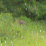 Photo of mystery animal in Unity Twp., PA  Used with the permission of the witness